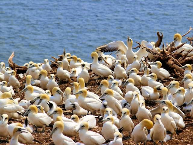 Gannet Colonies of Bonaventure Island National Park
