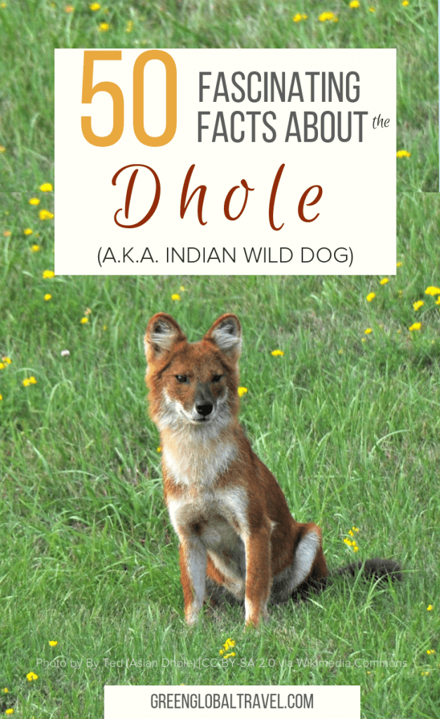 50 Fascinating Facts About the Dhole (a.k.a. Indian Wild Dog)