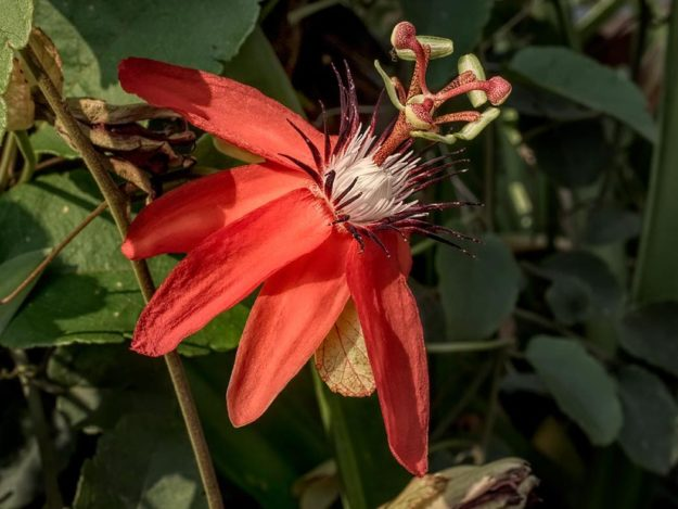 PHOTO: Scarlet Passion Flower Vine Climbs a Tree in Lamphun, Thailand